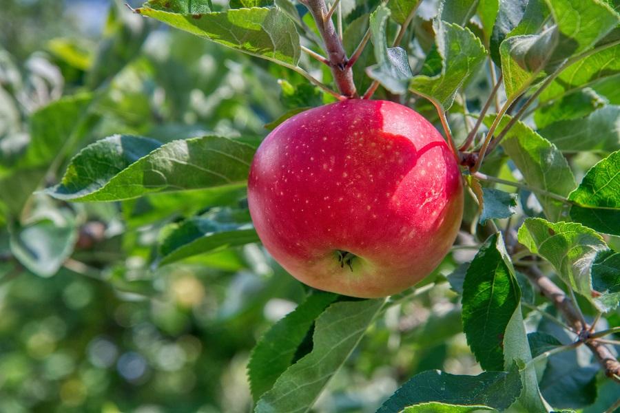 Slow Cooker Fruity Dessert Recipes Apple on a Tree