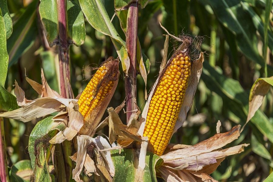 Crockpot Corn on the Cob Recipes Corn Cobs on Stalks in a Field
