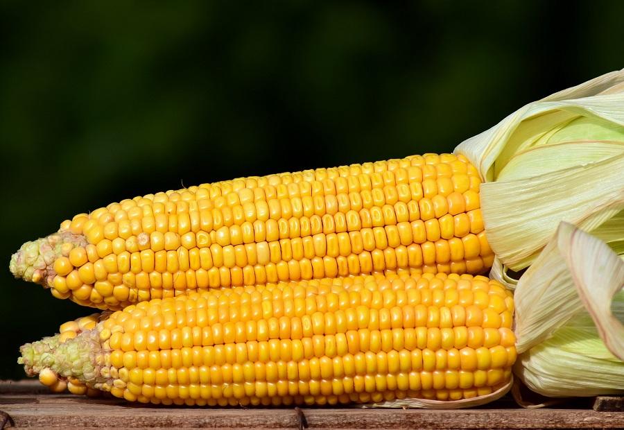 Instant Pot Corn Recipes Close Up of Two Cobs of Corn